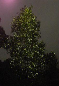abai_fireflies
